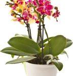 Plante d'orchidées